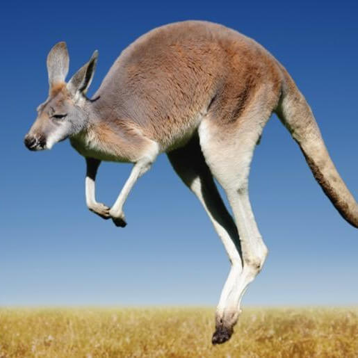 Dcahire Pty Ltd - Kangaroo Australia Symbol